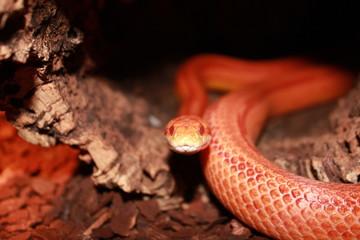 Albino Snake - Grass Snake - Ringelnatter