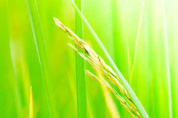 paddy field, rice plant