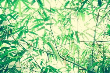 Asian Bamboo forest with morning sunlight background