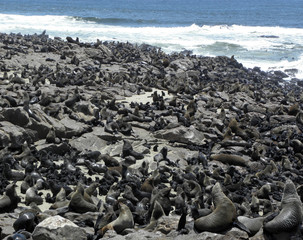 Fur Seal Colony