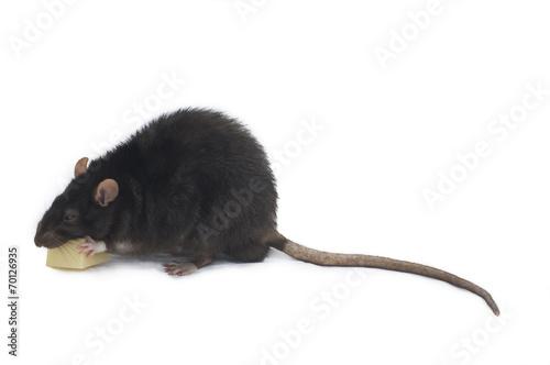canvas print picture Schwarze Ratte genießt Käse