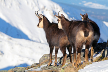 Group of Chamois at winter in Slovakia