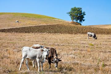 Basilicata, landscape with podolica cows