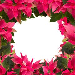 frame of pink poinsettia flower or christmas star