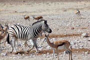 Zebra con springbock in Namibia