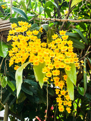 Colorful Orchid Species Yellow Dendrobium lindleyi flower in nat