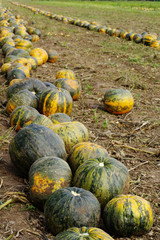 pumpkins fields 4