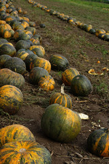 pumpkins fields 5