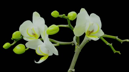 Time lapse phalaenopsis orchid