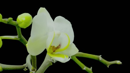 Beautiful orchidaceae bloom