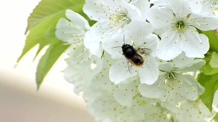 honey bees collect flower nectar in spring