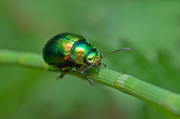 Radiant emerald beetle on grass