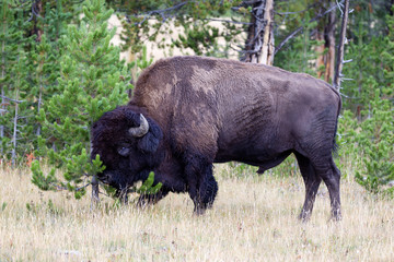 Large Buffalo rubbing head against small Pine Tree