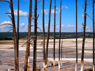 Dead Trees standing in hot springs within Yellowstone National P