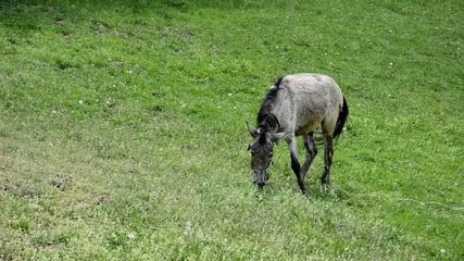 donkey mule on the meadow