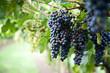 canvas print picture - Blaue Trauben in Reben an einem Weinstock am Gardasee