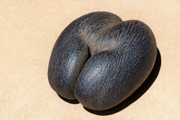 female Coco de Mer - Seychelles Sea Coconut at the sand