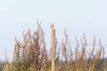 Whinchat on a pole