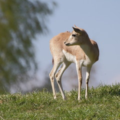 Persian gazelle on the hill