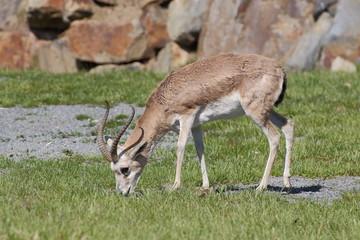 Grazing persian gazelle