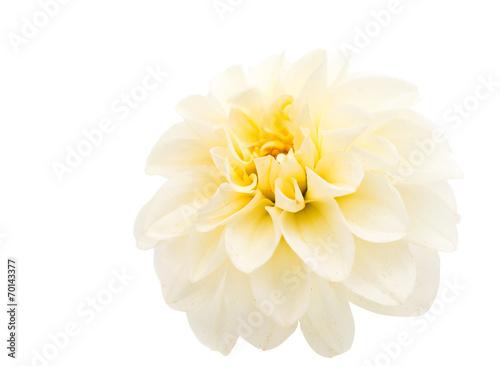 Foto op Canvas Dahlia White dahlia