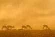 Springbok at sunrise, Kalahari desert