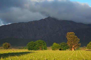 Vineyard landscape, Western Cape