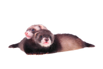 Little ferret babies