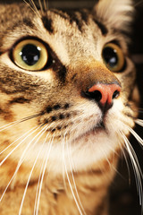 Grey cat's muzzle closeup