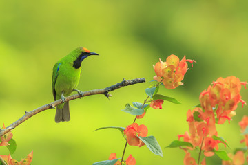 beautiful male Golden-fronted Leafbird in Thailand