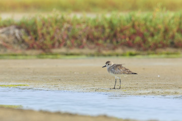 Pacific Golden Plover, thailand