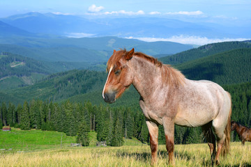 Horse on a summer mountain pasture