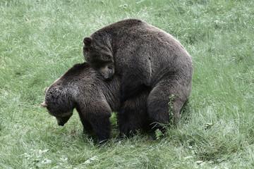 Bären bei der Paarung