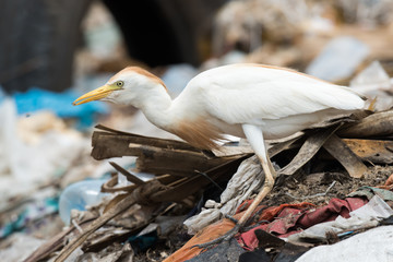 A Cattle Egret (Bubulcus ibis) on a pile of garbage holding a ma