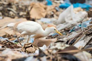 A Cattle Egret (Bubulcus ibis) searching a dump for flies and ma
