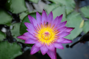 Purple water lily in the earthen jar.