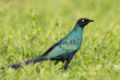 A Long-Tailed Starling (Lamprotornis chalcurus) standing in gras