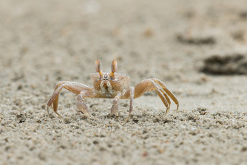 A sand-coloured crab straying away from its hole to feed