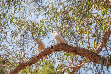 Two parrots on a tree branch at Grampians National Park