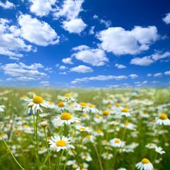 Flower field with blue sky, summer landscape