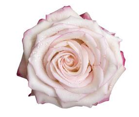 Rosa bianca con rugiada sui petali