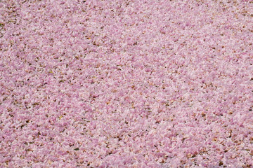 Texture of full pink tabebuia flower on the pond.