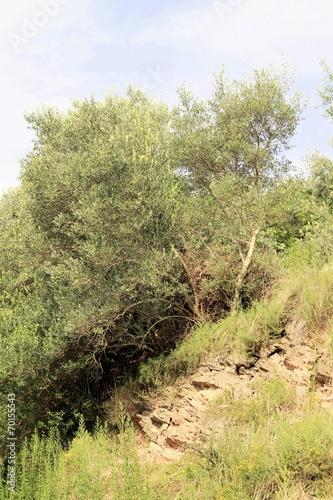 Tuinposter Olijfboom Olive trees on Garda lake