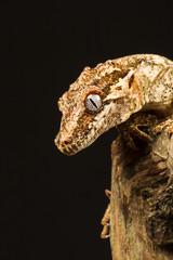 Gargoyle Gecko (Rhacodactylus auriculatus)