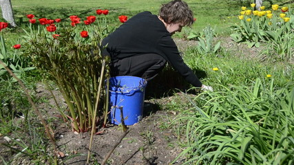 woman looks after tulip flower beds in spring garden