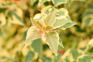 bougainvillaea leaves.