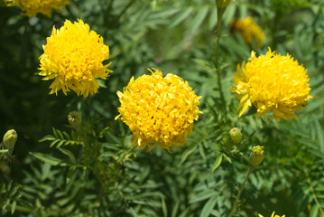 Yellow Flower Marigold