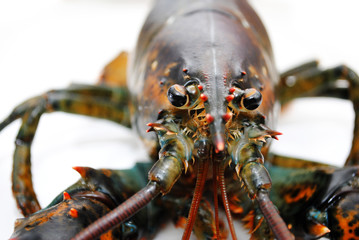 Close Up of the Face of a Live Lobster