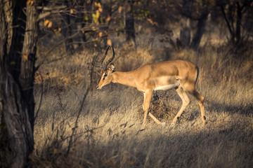 Antelope in Namibia, Africa