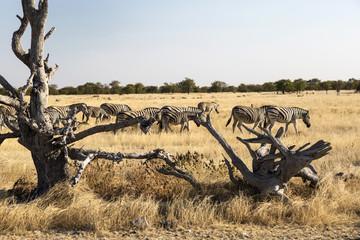Zebras in Namibia, Africa